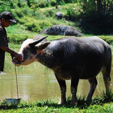 Vodní buvol, u Toradžů symbol bohatství
