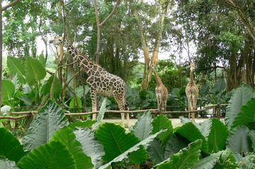 Žirafy v singapurské zoo