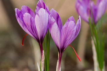 květ šafránu