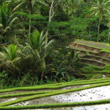 Rýžové terasy poblíž Ubudu
