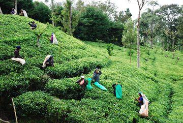 Česačky čaje na svahu plantáže