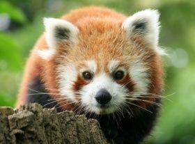 Tvář pandy červené
