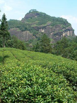 Čajová plantáž, Wuyishan