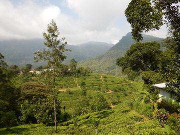 Typická krajina s čajovými plantážemi
