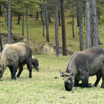 Takin - posvátné zvíře Bhútánu