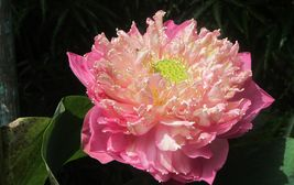 Tropický květ, Indonésie