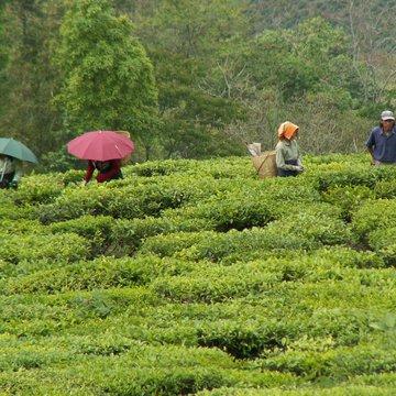 Česačky čaje, Darjeeling