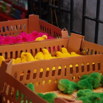 Kuřátka veselých barev na místím tržišti