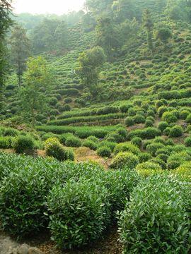 Plantáže Longjing, Hangzhou