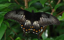 Na Sulawesi poletují pestrobarevní motýli