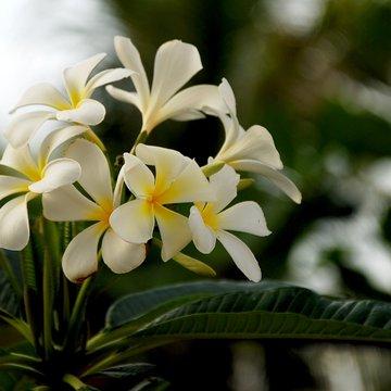 Květy plumérie