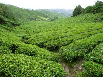 Známý čaj z Cameron Highlands