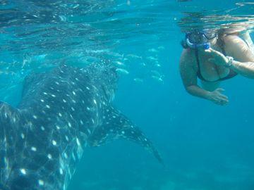 Šnorchlování s velrybími žraloky