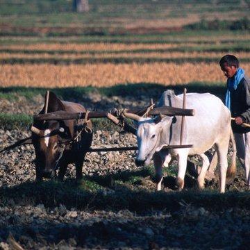 Terai - sklizeň rýže