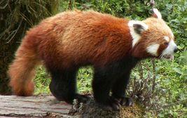 Panda červená, ZOO Gangtok