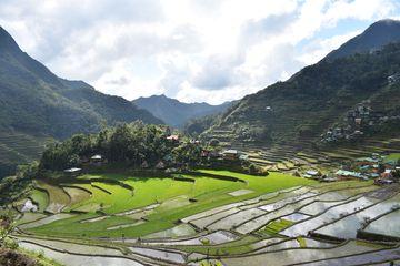 Svěže zelené rýžové terasy v Batadu