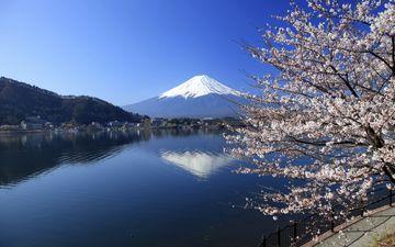 Zasněžená Fudži se sakurami
